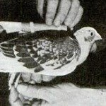 Part Two: The Homing Pigeon in NY History