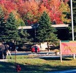 Moose on the Loose at the Adirondack Museum